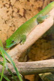 Salamandra verde totalmente Foto de archivo