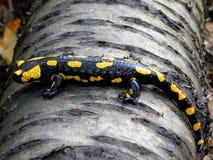 Salamandra salamandra royalty free stock photography