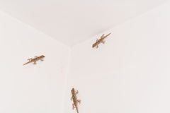 3 salamandras en una pared blanca Imagen de archivo libre de regalías