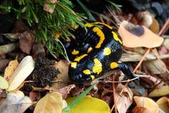 Salamandre photographie stock libre de droits