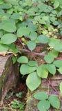 Salamandre Стоковая Фотография RF
