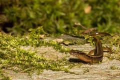 Salamandre bordée de deux du nord Images stock