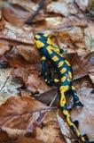 Salamandre d'incendie Photos libres de droits