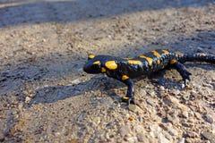 Salamandre d'incendie Image libre de droits
