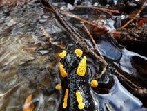 Salamandre d'incendie Photo stock