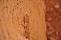 Salamandre de dissimulation Photos stock