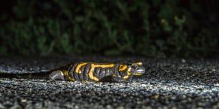 Salamandre de feu européen Image libre de droits