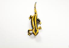Salamandre de feu, Salamandra Image stock