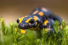 Salamandre de feu sur la mousse Photos stock