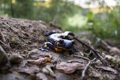 Salamandre de feu sur la nature Photos libres de droits