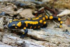 Salamandre de feu sur le plancher de forêt photographie stock libre de droits