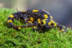 Salamandre de feu sur un tronc moussu dans son habitat naturel Photo libre de droits