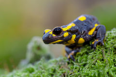 Salamandre de feu toxique dans son habitat naturel Photographie stock