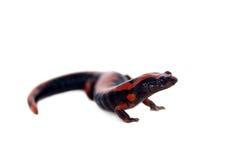 Salamandre de s'élever de Lincolns sur le blanc photo libre de droits