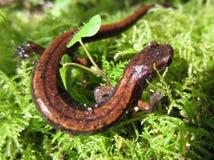 Salamandre occidentale de Redback sur la mousse Photo stock