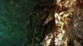 Salamandre repérée jaune dans la forêt sauvage, temps réel, clips vidéos