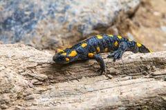 Salamandre repérée sur le bois Photos stock
