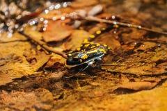 Salamandre, salamandre de feu en nature Photographie stock