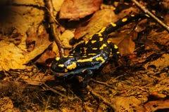 Salamandre, salamandre de feu en nature Image stock