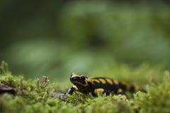 Salamandre tachetée Royalty Free Stock Photo
