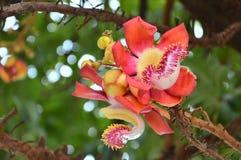 Salana kwiaty Fotografia Stock