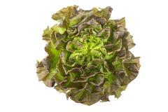 Salanova grönsallat på vit bakgrund Royaltyfri Foto