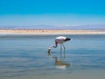 Salar de Atacama Laguna Chaxa Stock Afbeeldingen