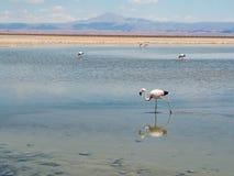 Salar De Atacama Laguna Chaxa Obraz Stock