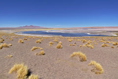 Salar de Tara Vegetation Photo stock