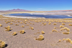 Salar de Tara Vegetation Royaltyfria Foton