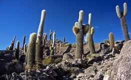 Salar de Uyuni in Bolivia,Bolivia. Cactus on Island Pescado in Salar de Uyuni at Eduardo Avaroa National Reserve,Bolivia Royalty Free Stock Images