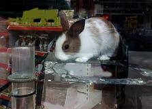 Salas de exposición de la tienda de animales del conejo que comen los oídos de la cara Fotografía de archivo libre de regalías