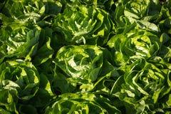 Salat植物在庭院里 免版税库存照片