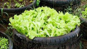 Salat in den Autorädern lizenzfreies stockbild