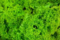 Salat frais vert Lollo Bionda Photo stock