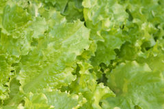 Salat green Lettuce closeup Stock Photography