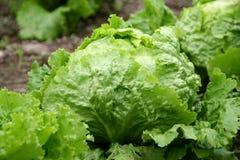 Salat - Kopfsalat Lizenzfreie Stockbilder