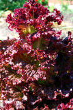 Salat-lolo-rossa Stock Photography