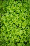 Salat Veg Stockfoto