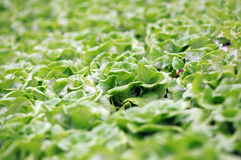 Salatbauernhof Stockbild
