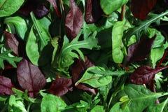Salatblatt-Mischung rucola Lizenzfreie Stockbilder