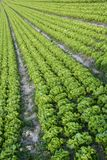 Salatfeld Stockfotos