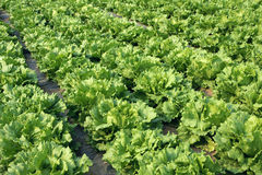 Salatfeld Stockbild