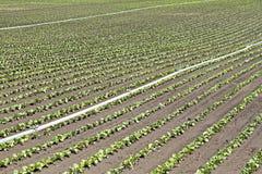 Salatfeld Lizenzfreie Stockbilder