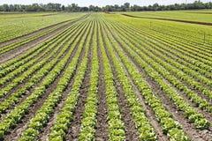 Salatfeld Lizenzfreies Stockfoto