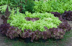 Salatfeld Stockfoto