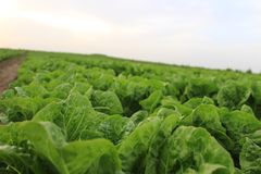 Salatfeld summen herein Fokus laut Lizenzfreies Stockbild