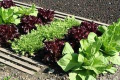 Salatgartenbett Stockfotos