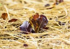 Salatgrüns gewachsen auf dem Garten Stockfotos