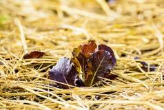 Salatgrüns gewachsen auf dem Garten Stockbild
